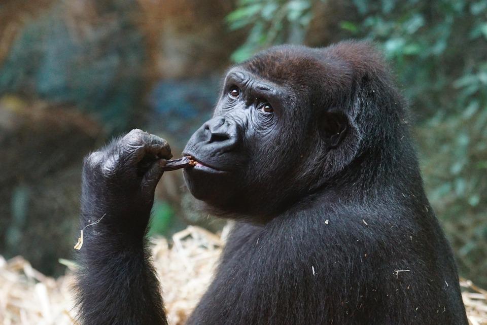Hay un argumento moral para mantener simios grandes en loszoológicos